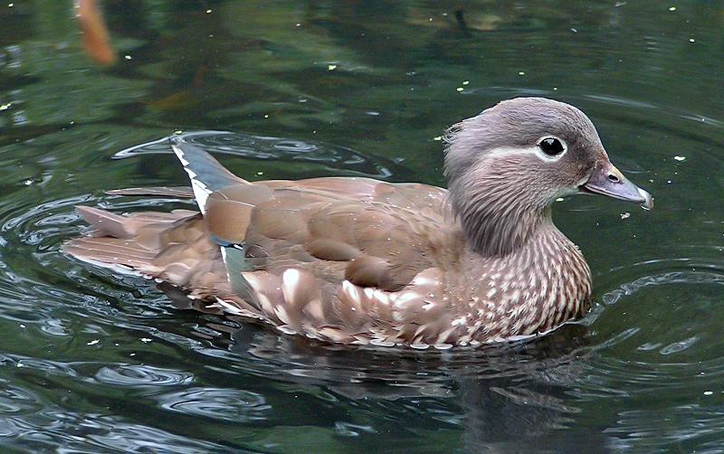 Ficheiro:Female Mandarin Duck 800.jpg