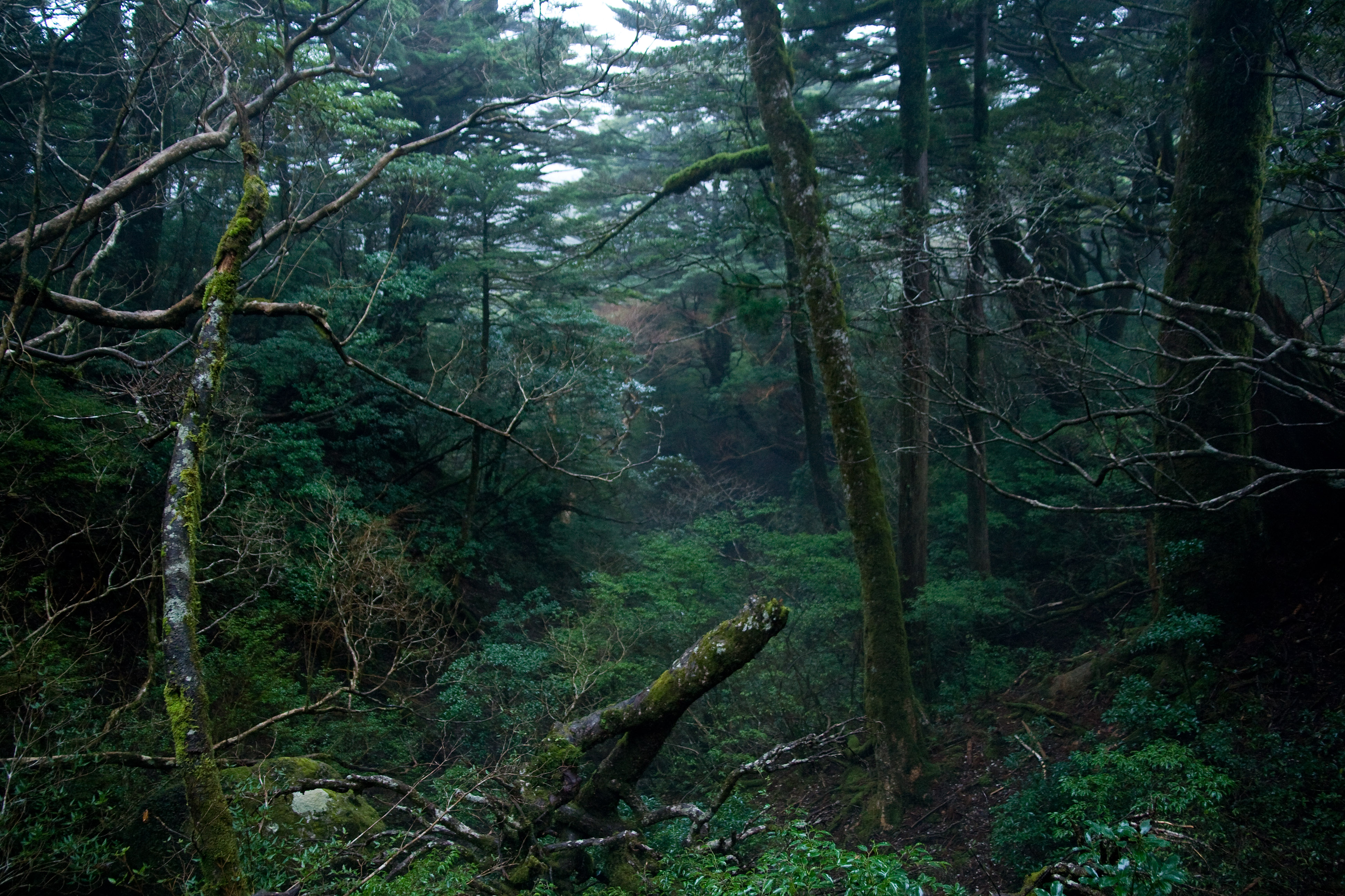 Fileforest in yakushima 45g wikimedia commons fileforest in yakushima 45g voltagebd Choice Image