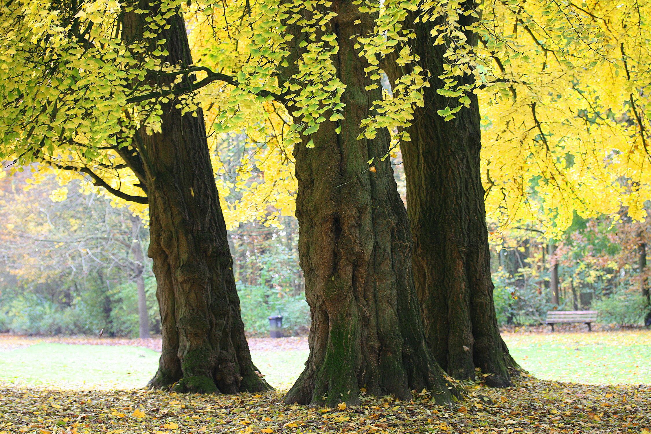 Ginkgo biloba en Morlanwelz-Mariemont (Bélgica). /Imagen: Wikipedia.