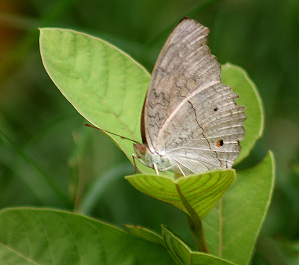 File:Grey Pansy Butterfly I IMG 4394.jpg - Wikipedia, the free ...