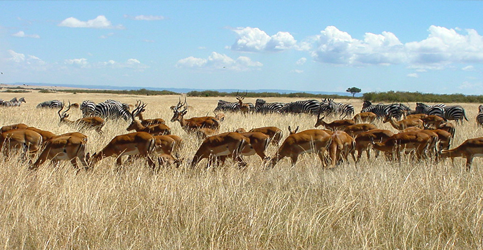 File:Herds Maasai Mara.JPG - Wikipedia