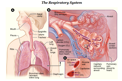 Respiratory system - Simple English Wikipedia, the free encyclopedia