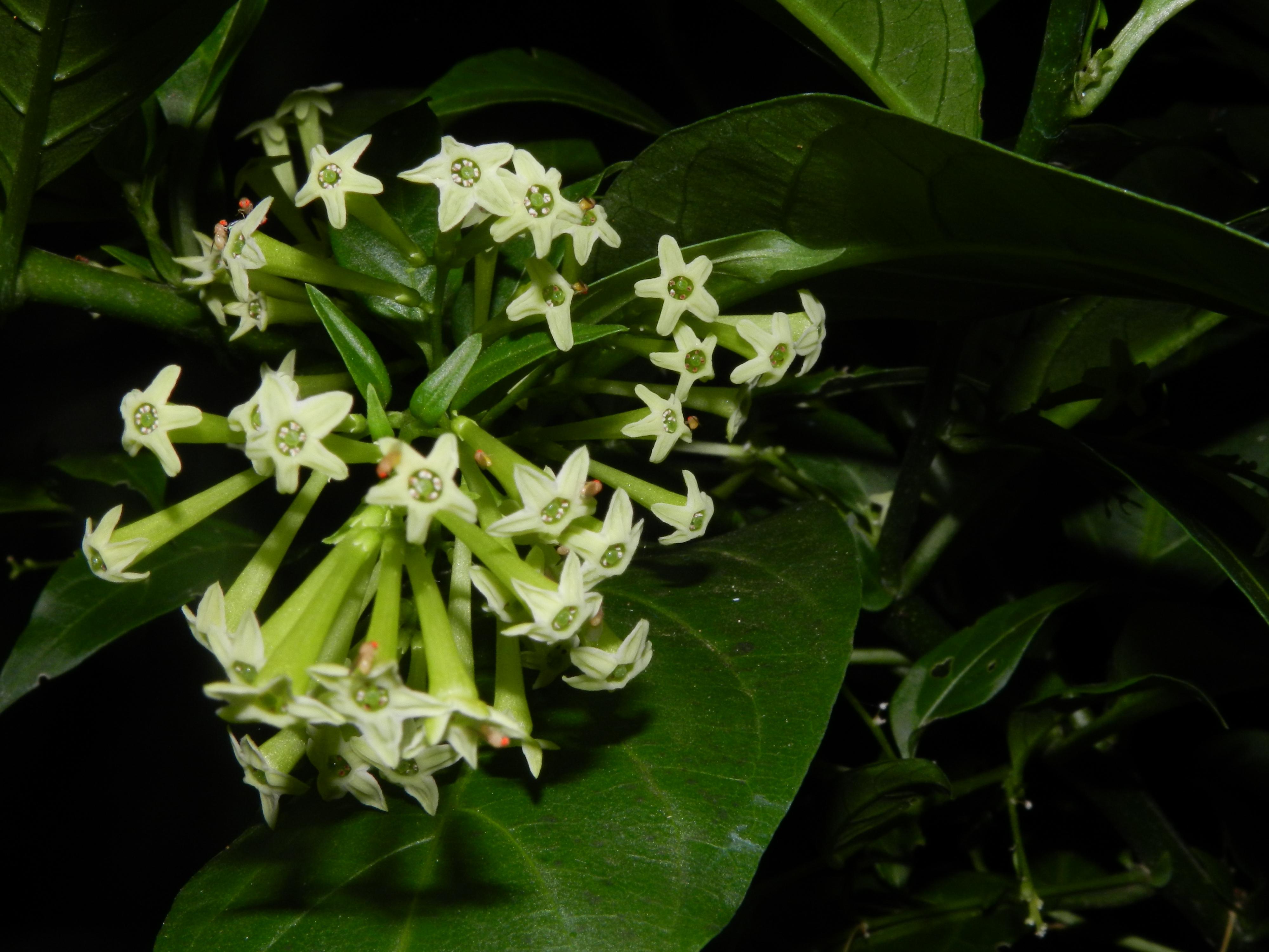 Mahameru Blüte