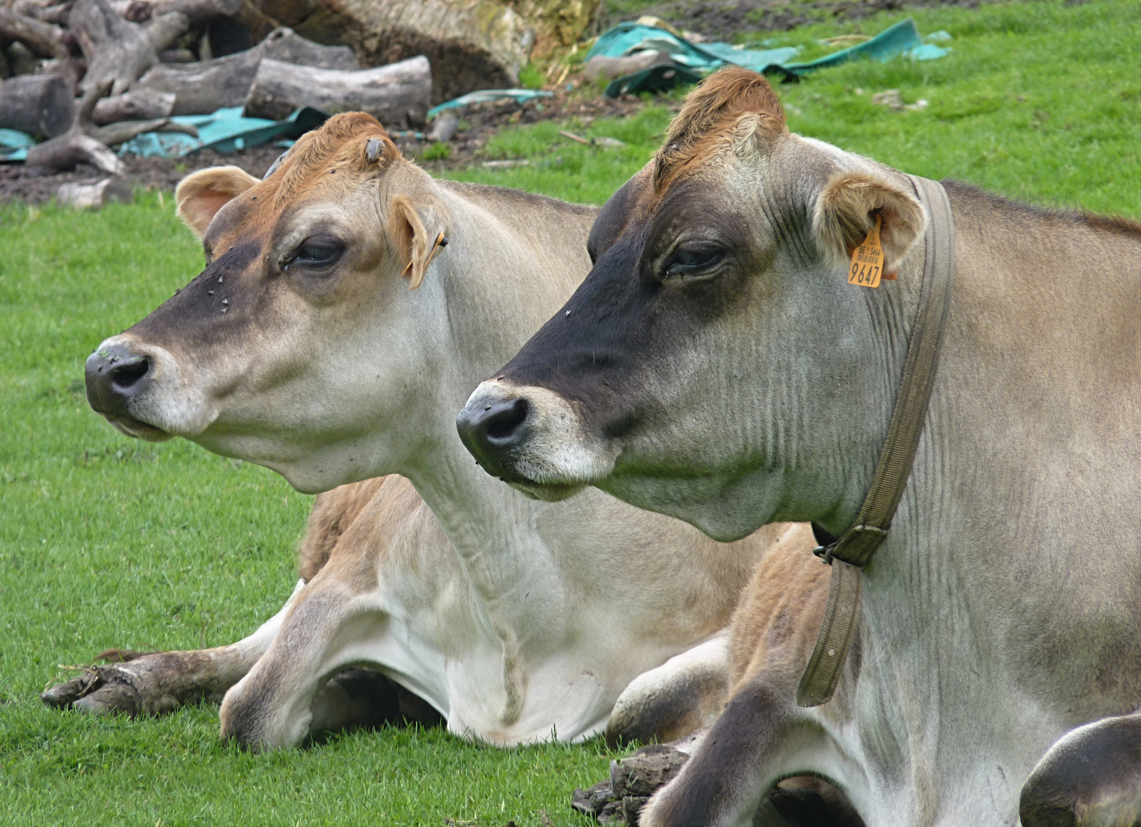 Jersey cow Stock Photos, Royalty Free Jersey cow Images Jersey cow pictures free