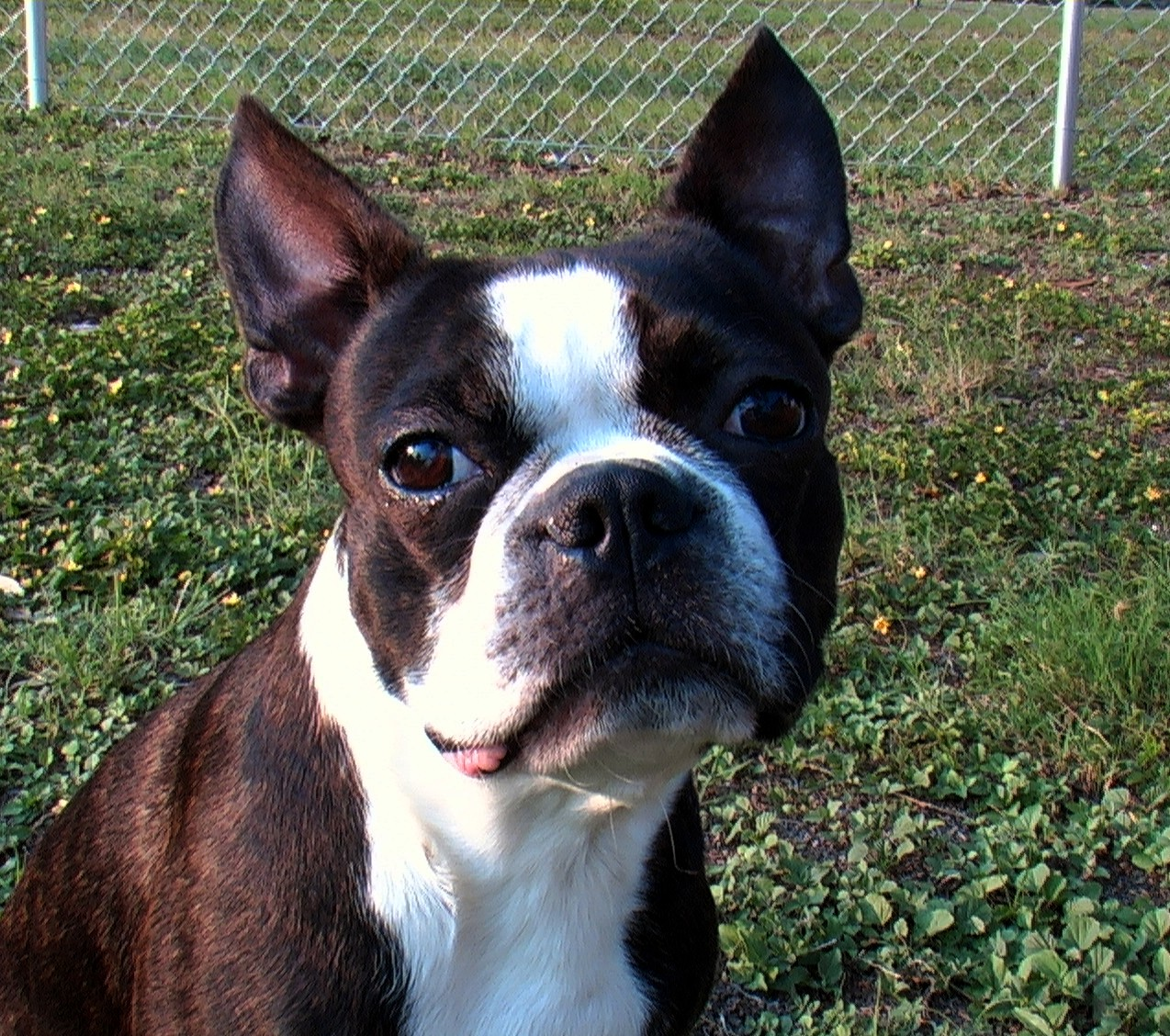 Description Joe-Joe the Boston Terrier (age 2).jpg