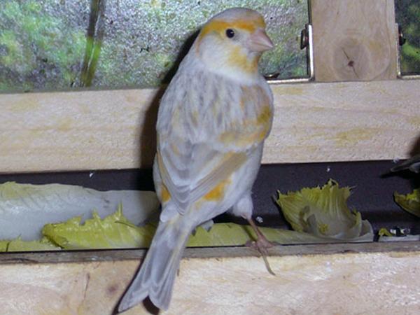 Alter Erkennen Kanarienvogel