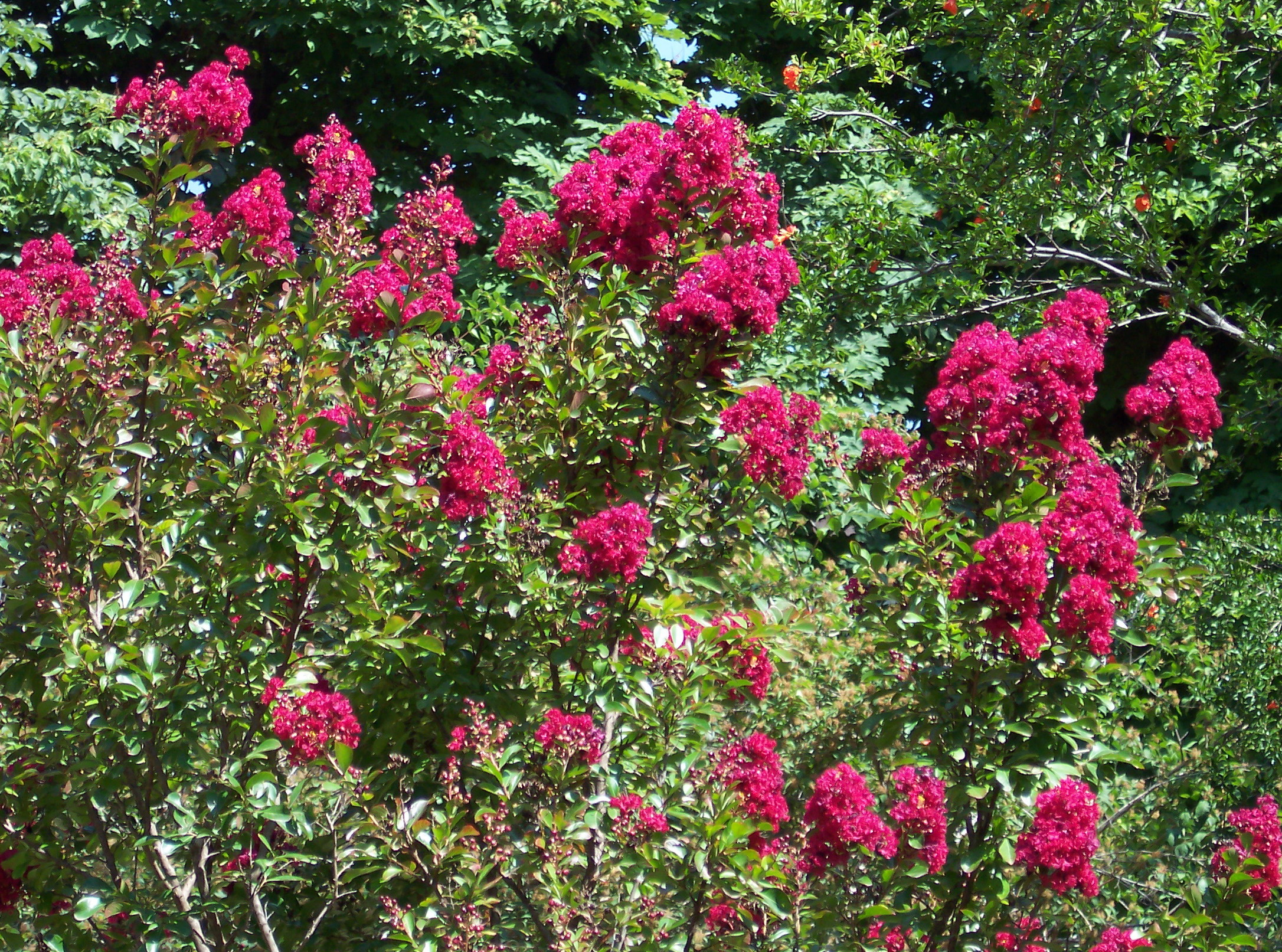 file lagerstroemia indica 39 red imperator 39 jpg wikimedia commons. Black Bedroom Furniture Sets. Home Design Ideas