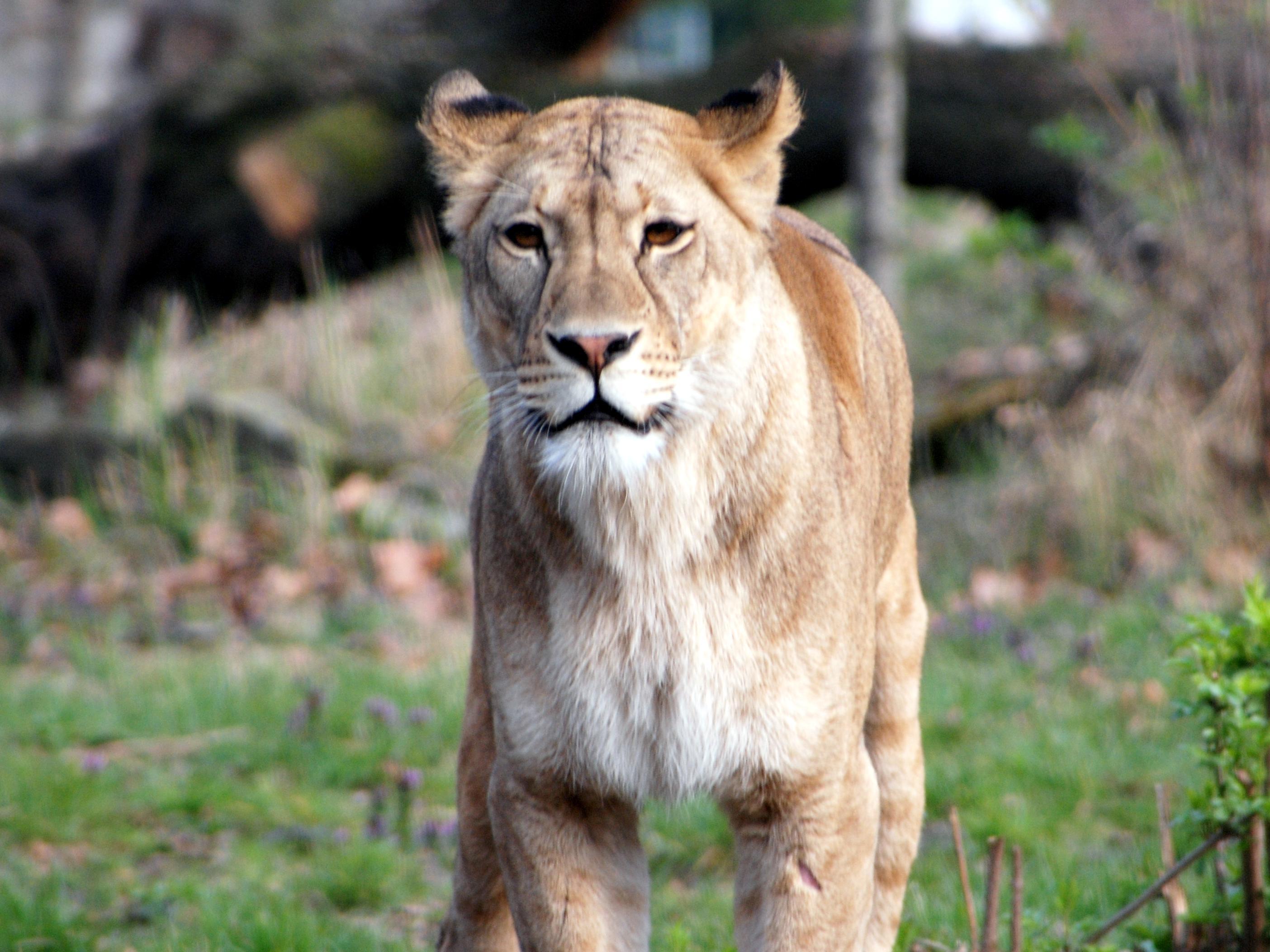einzelne Pumas in meiner Nähe