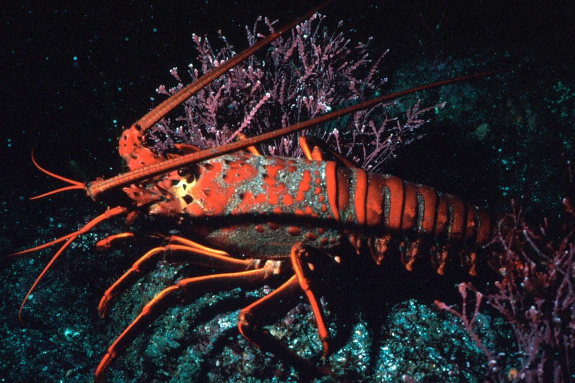 Live Lobster Food Stamps