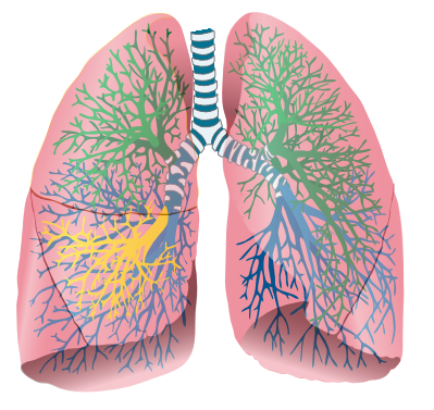 English: Lungs, adapted for use in Häggström d...