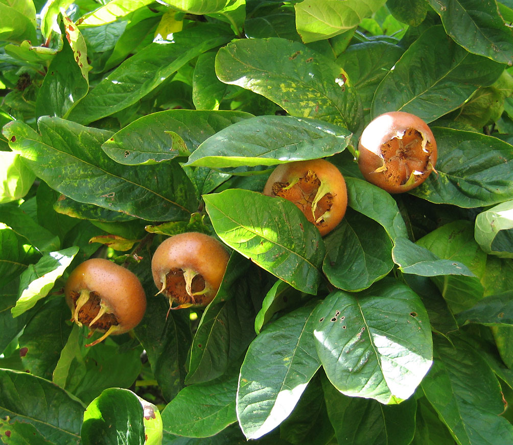 http://upload.wikimedia.org/wikipedia/commons/9/99/Medlar_pomes_and_leaves.jpg