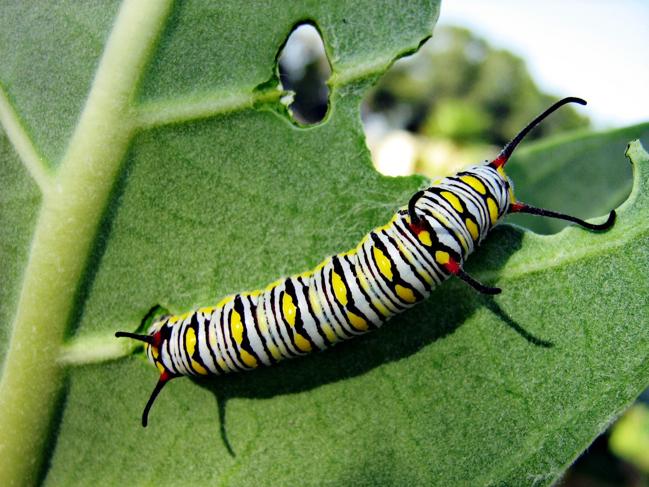file monarch butterfly caterpillar jpg