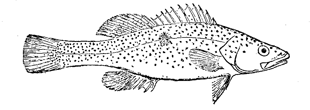 how to draw a cod fish