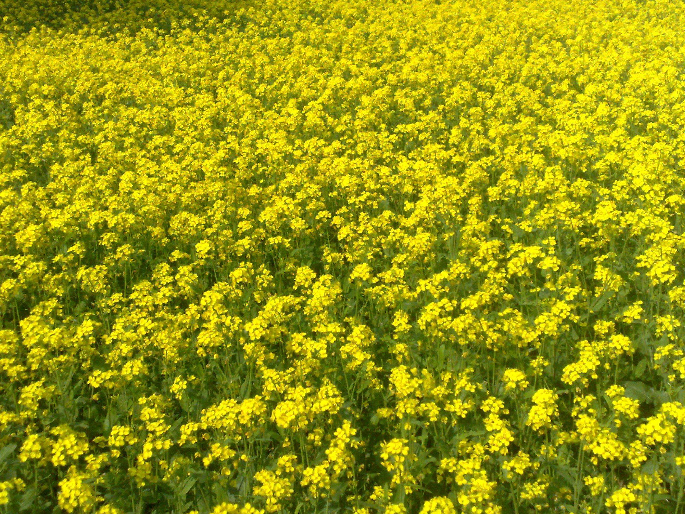 Mustard plant bangladesh.jpg