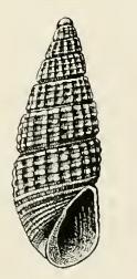 <i>Odostomia communis</i> species of mollusc