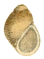 Pachydrobiella brevis shell.png