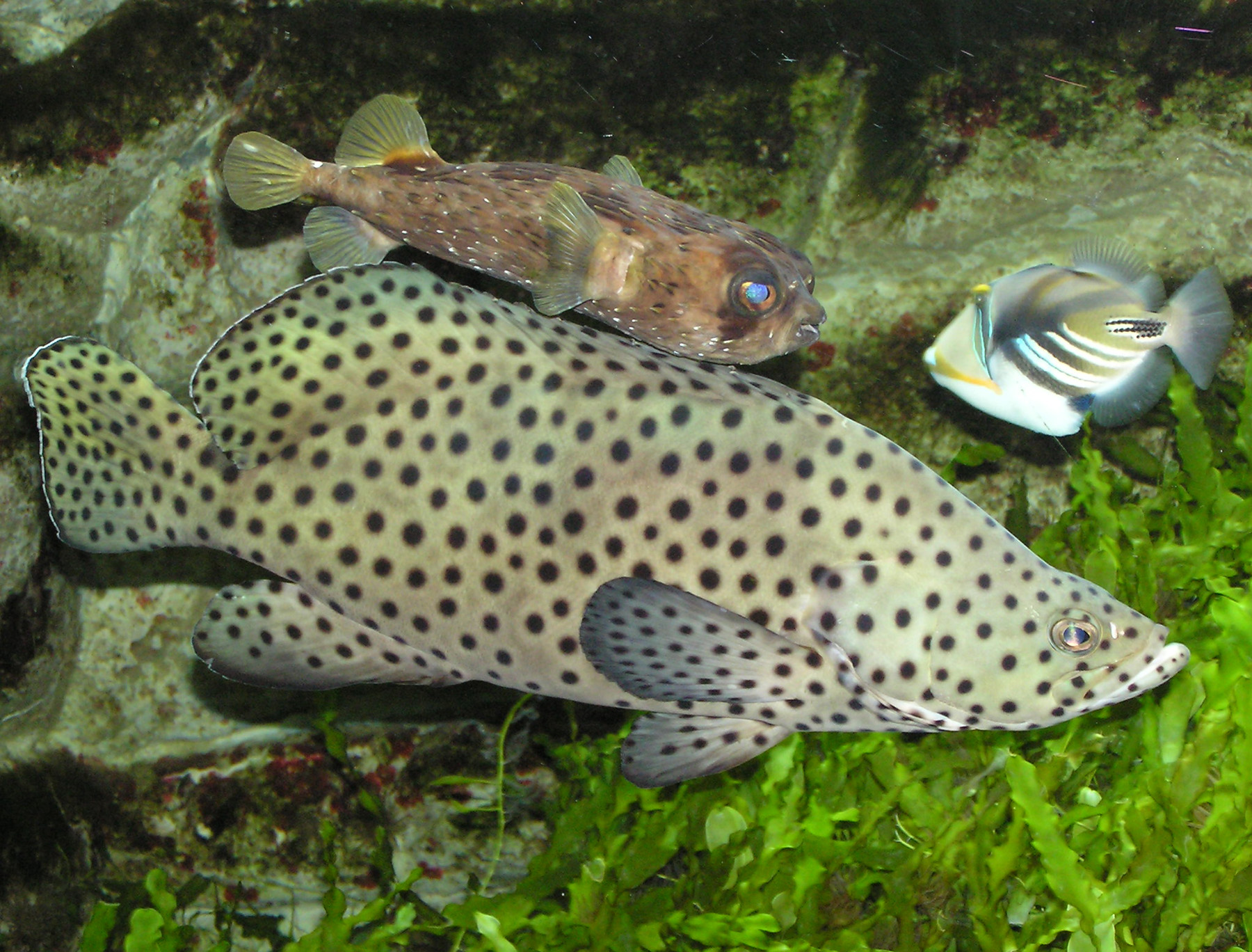 A starter fish to avoid--the panther grouper