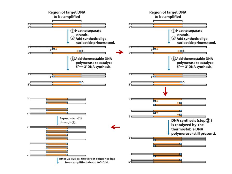 file:polymerase chain reaction diagram jpg