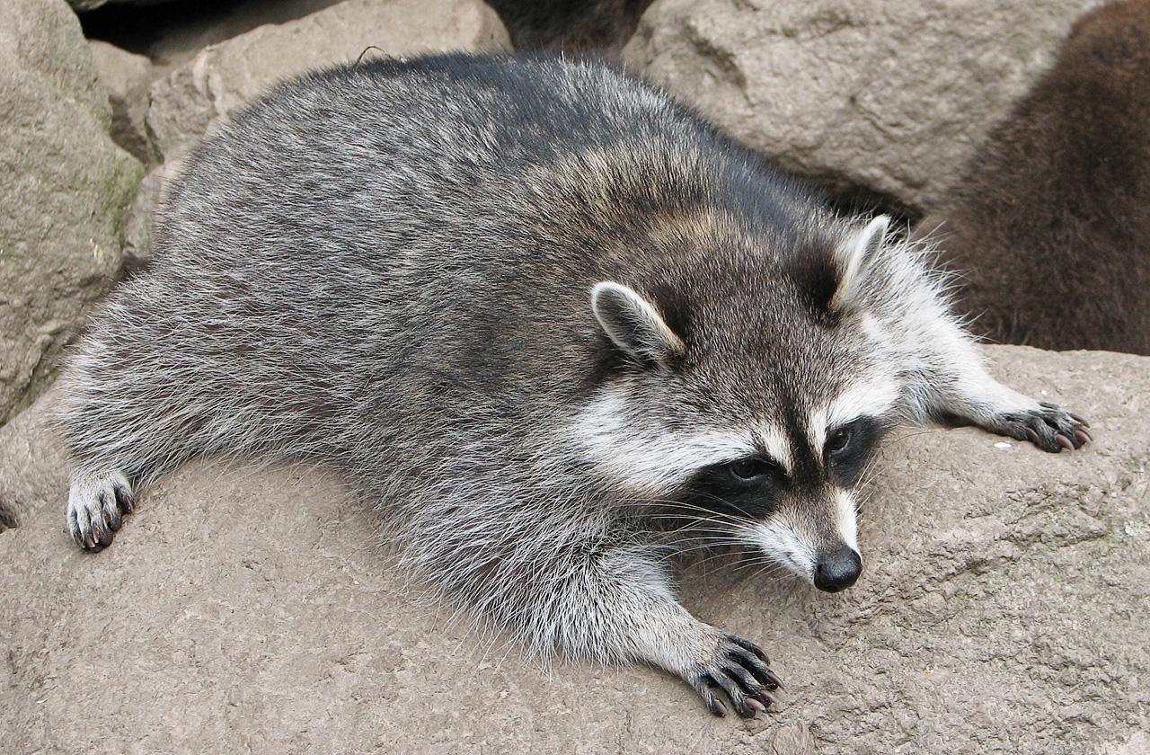 Raccoon T Princeton Landing News...