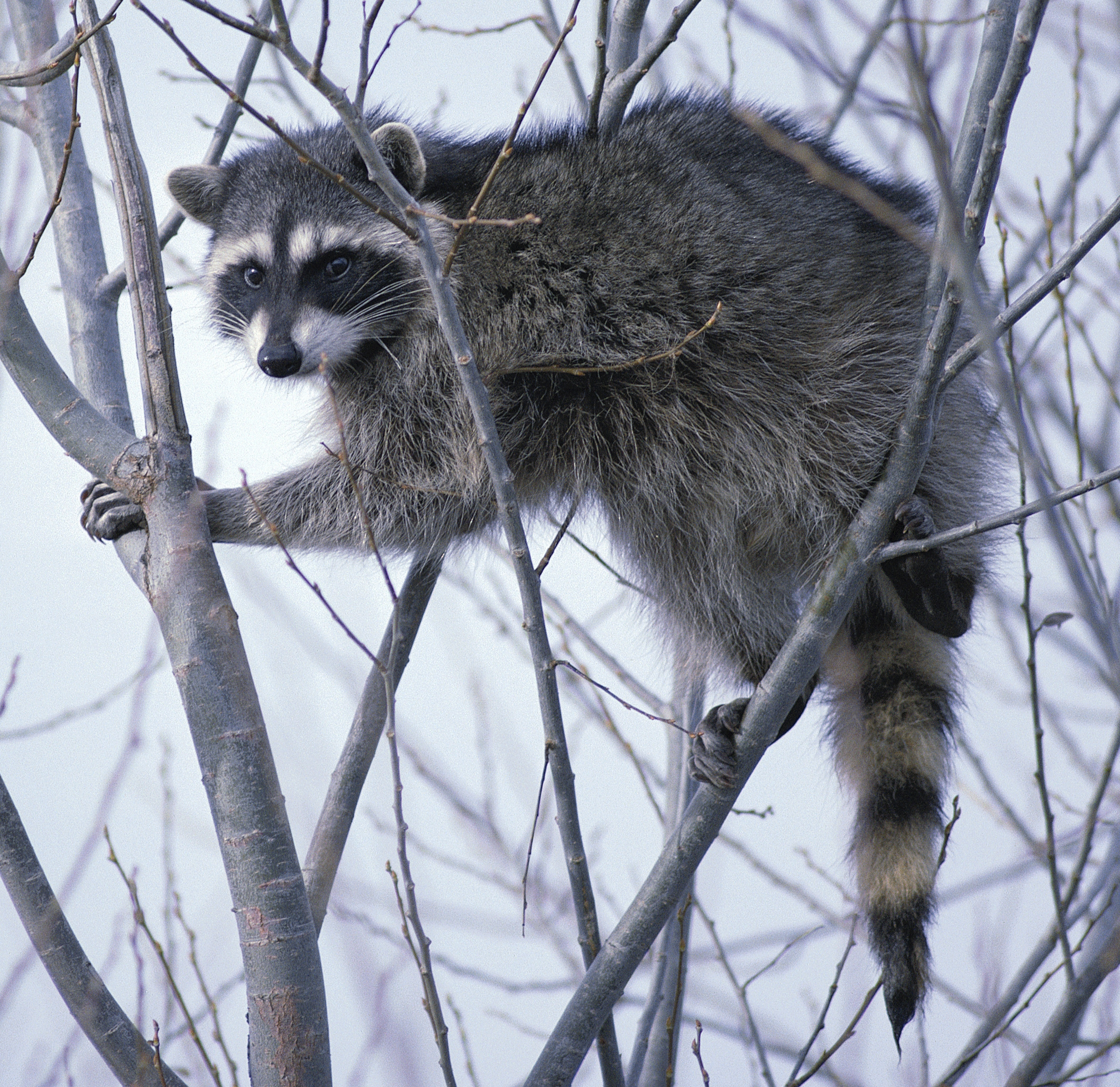 Newport (OR) United States  city images : Raccoon climbing in tree clipped Wikimedia Commons