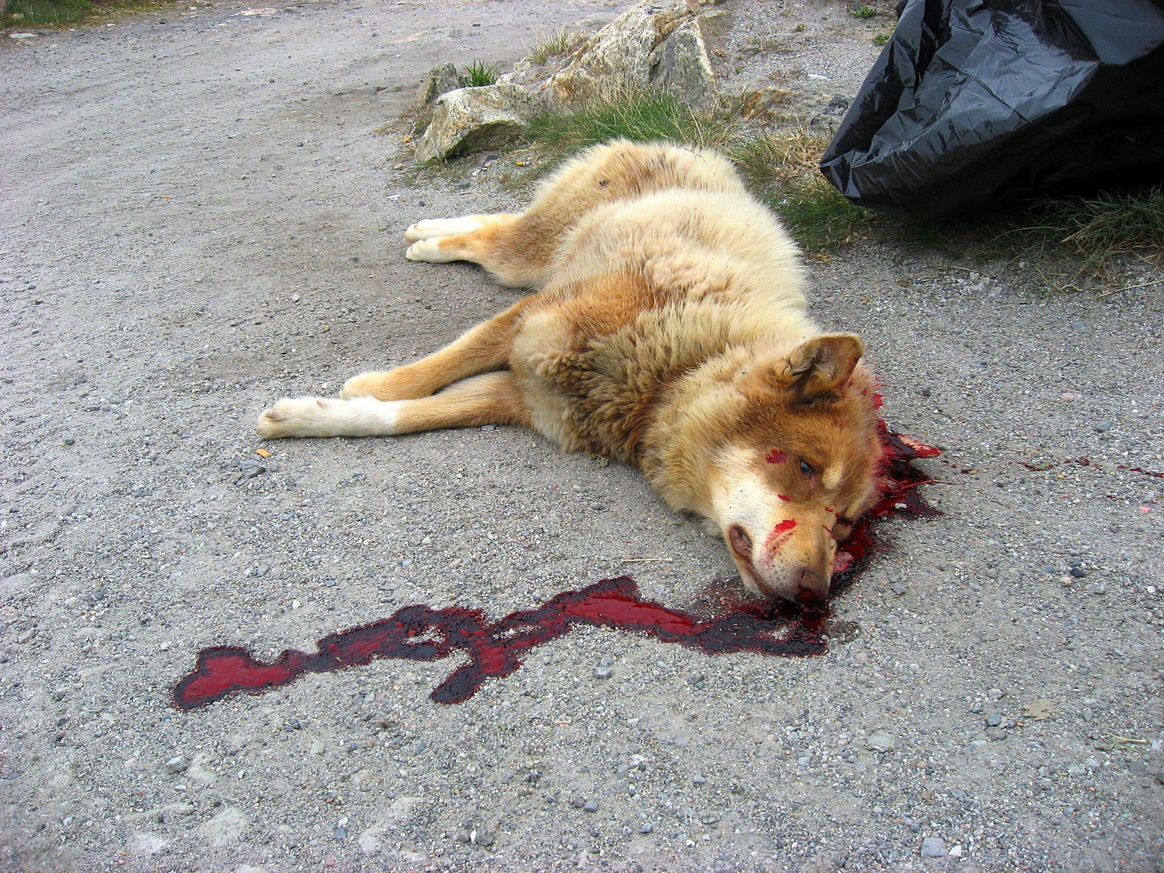 Description recently shot greenland dog upernavik 2007-07-02 edited