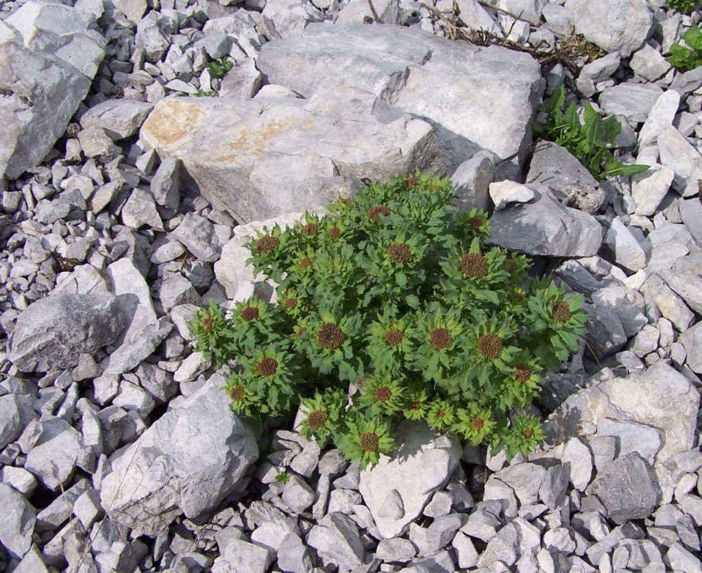 Rhodiola Rosea Roswenwurz im Gebirge