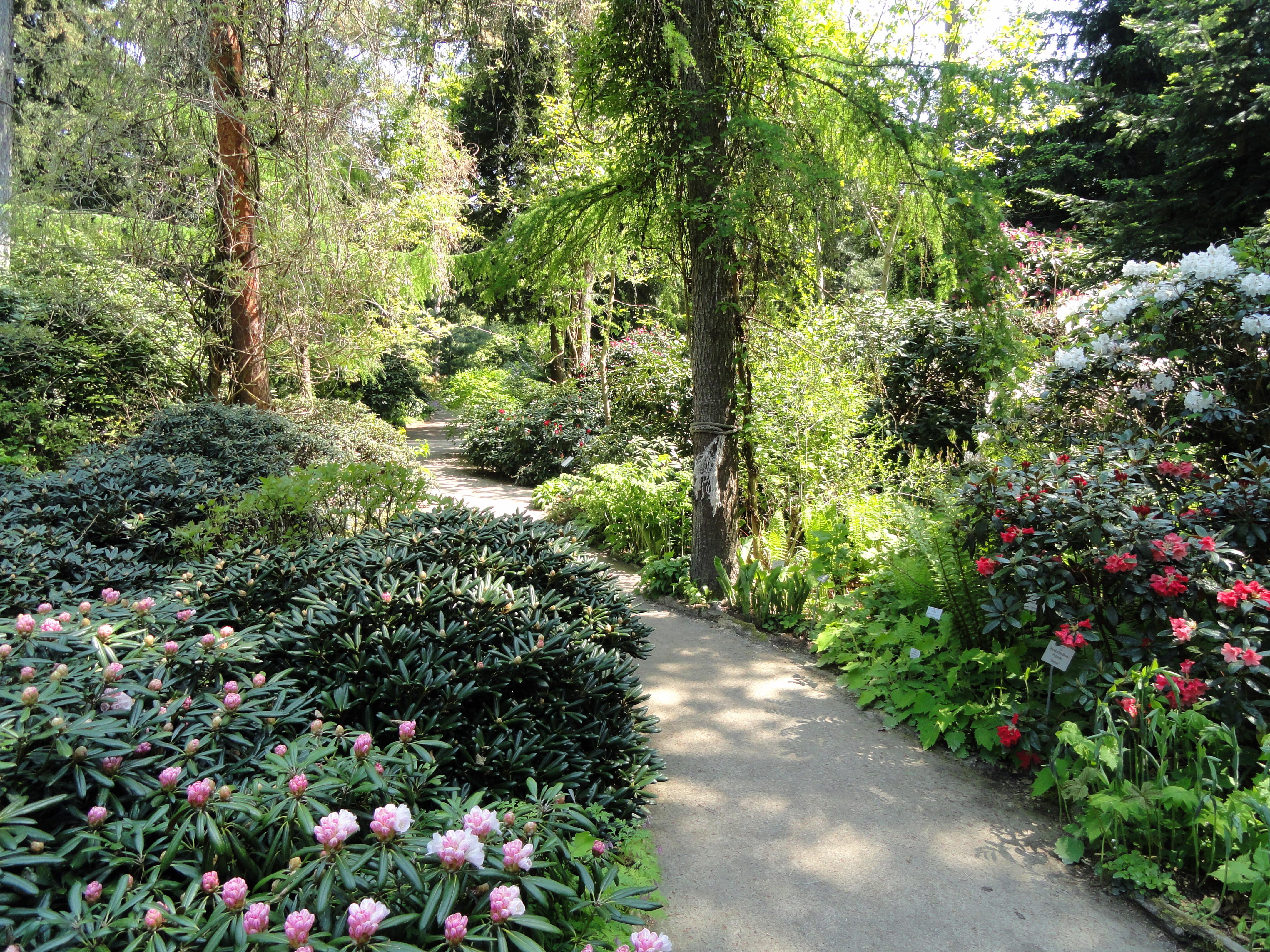 Dateirhododendrons Botanischer Garten München Nymphenburg