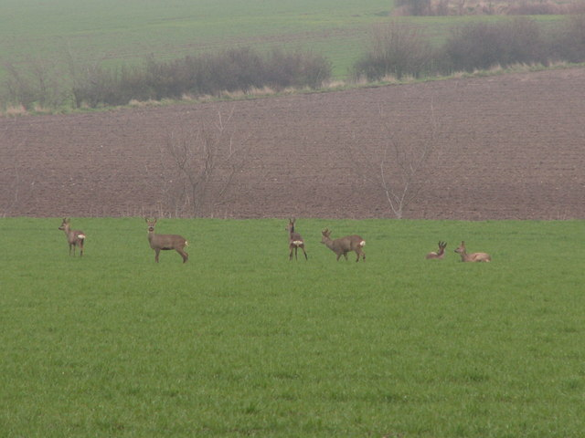 File:Roe deer on arable land - geograph.org.uk - 310174.jpg