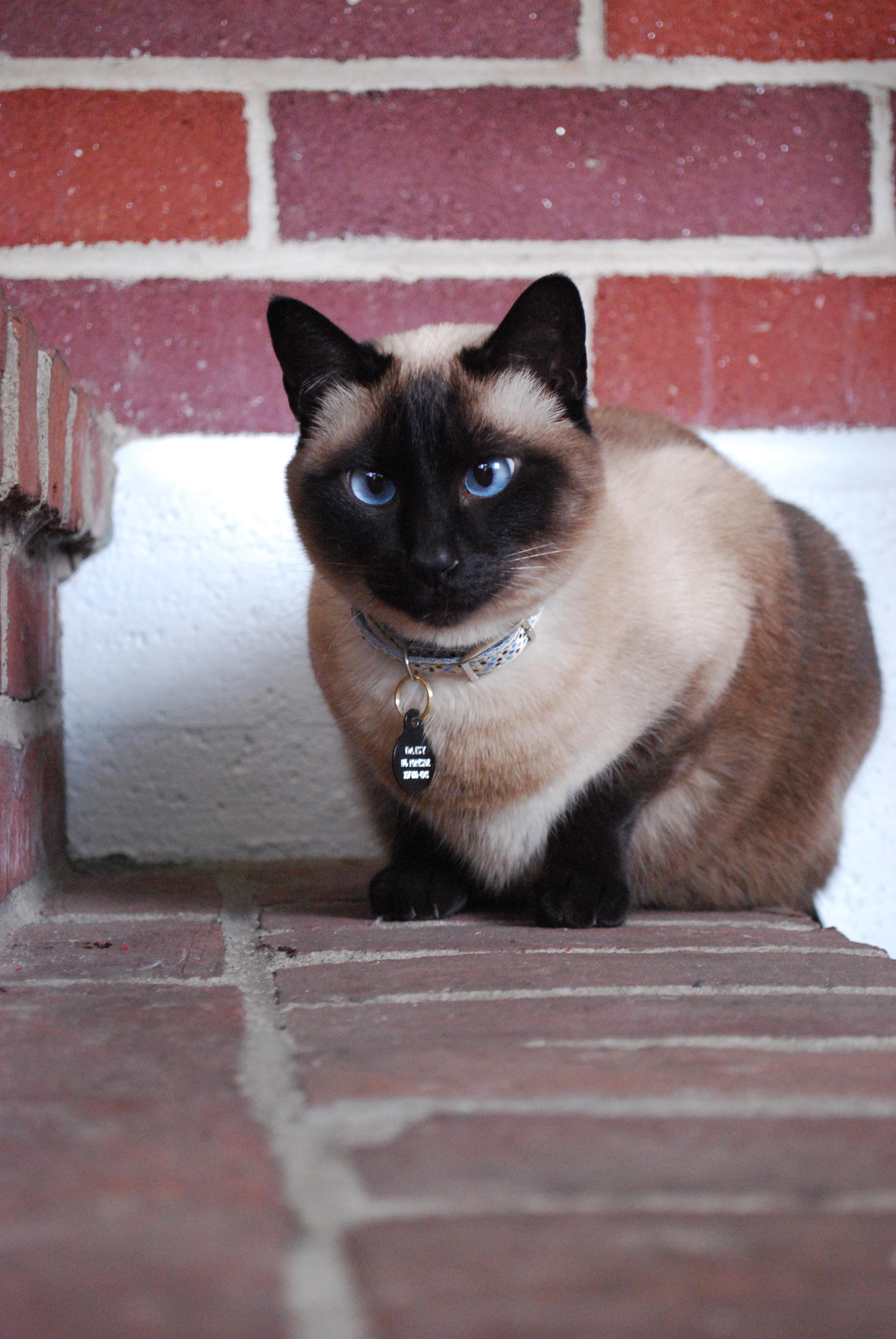 Siamese Cat Kittens