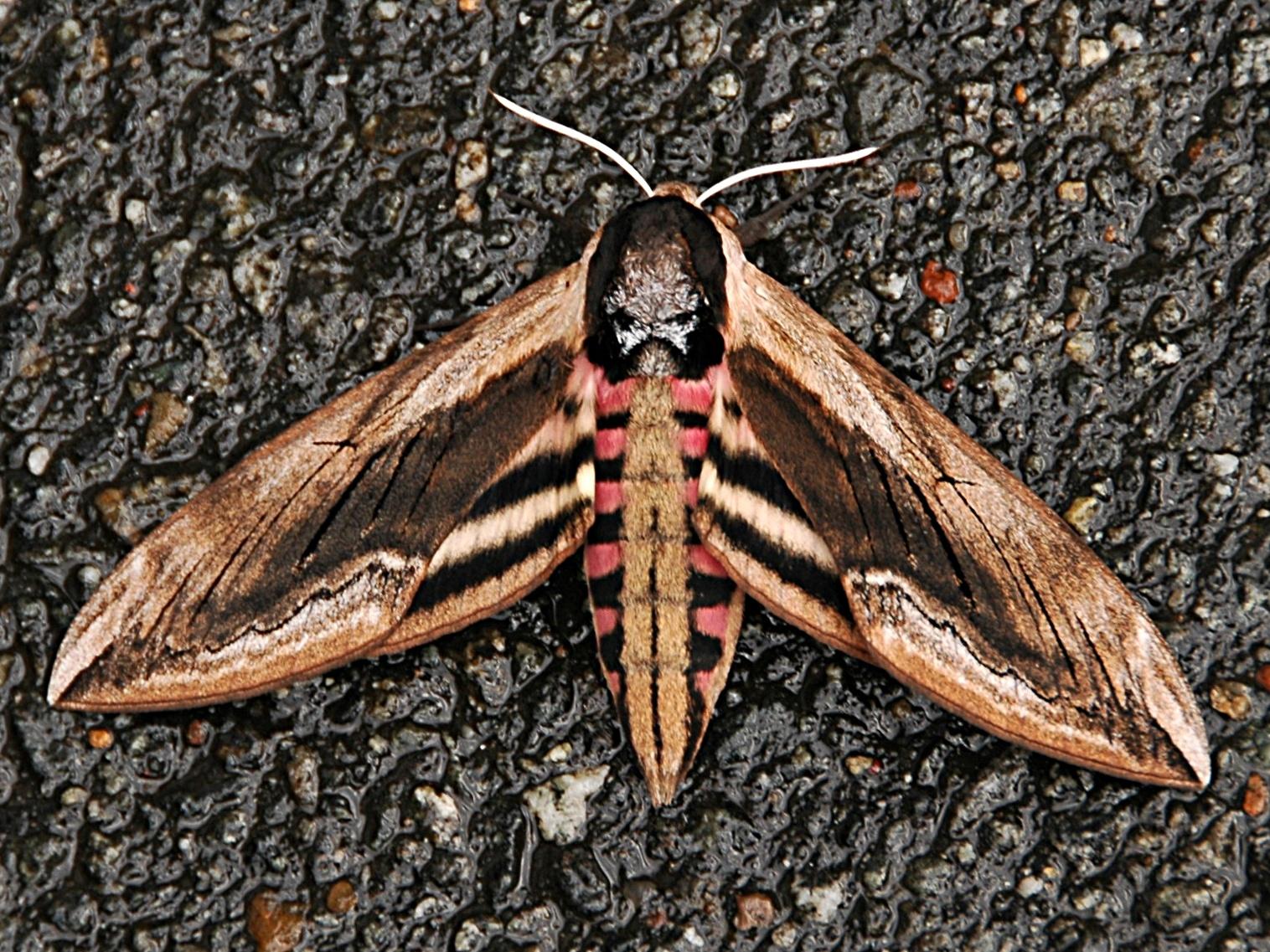 Википедия ночная бабочка