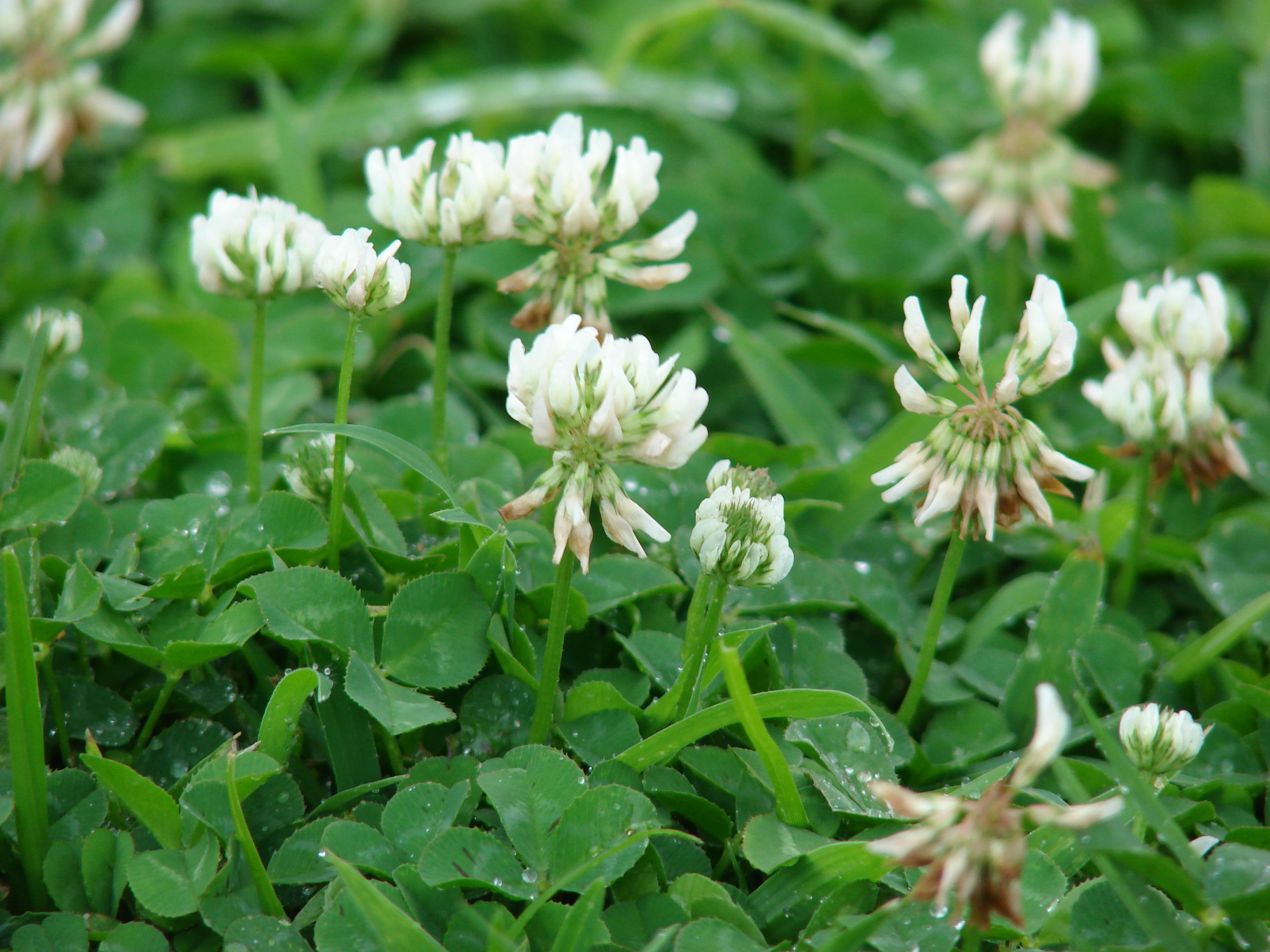 Demand white clover