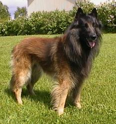 Belgian Tervuren on Wikipedia