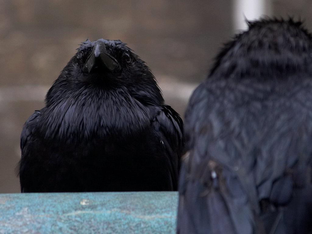 file tower of ravens closeup jpg wikimedia commons