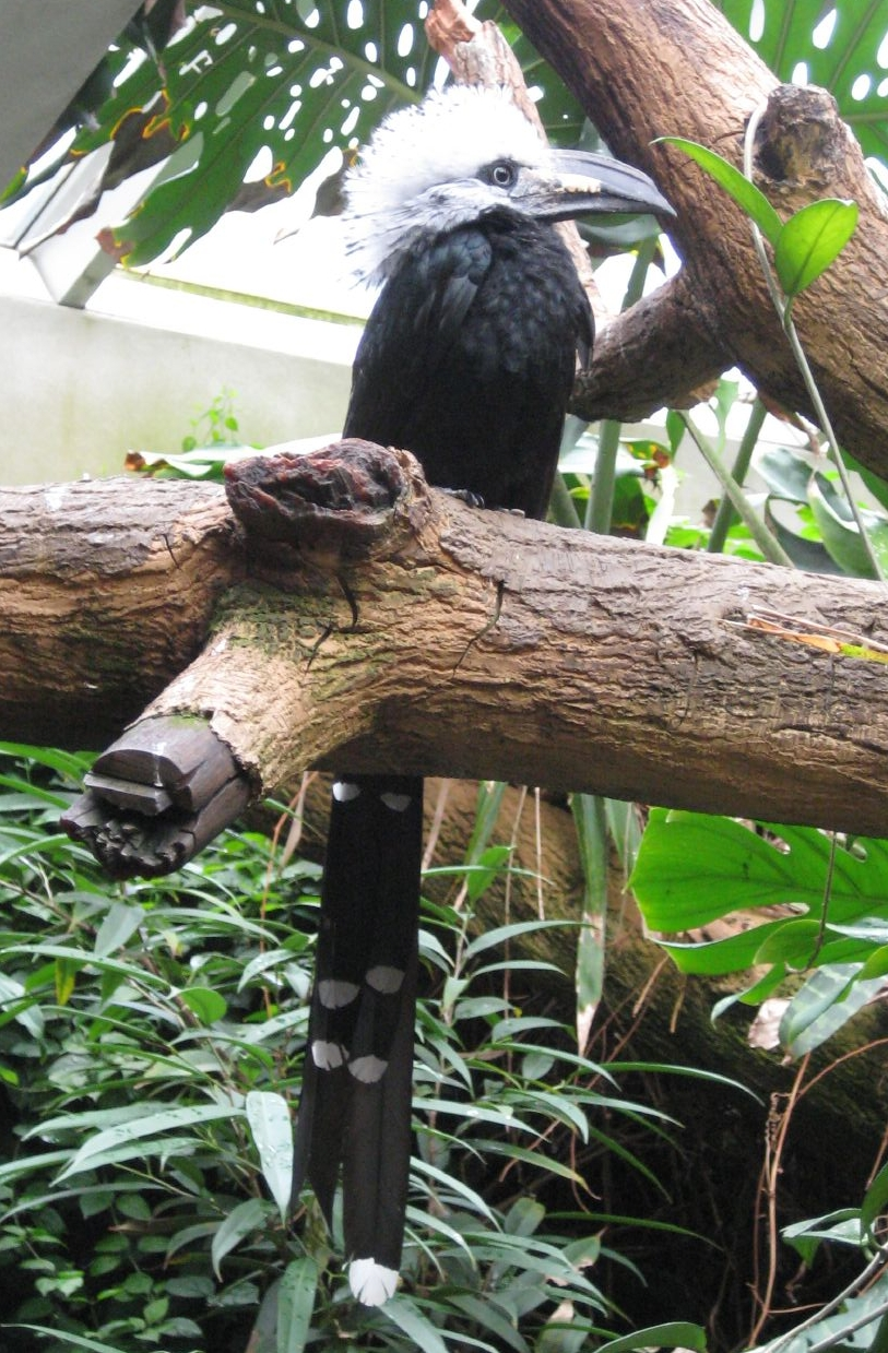 http://upload.wikimedia.org/wikipedia/commons/9/99/Tropicranus_albocristatus_-Central_Park_Zoo-6a-4c.jpg