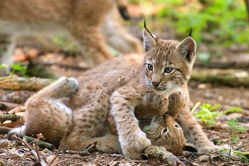 http://upload.wikimedia.org/wikipedia/commons/9/99/Two_lynxes_playing.jpg