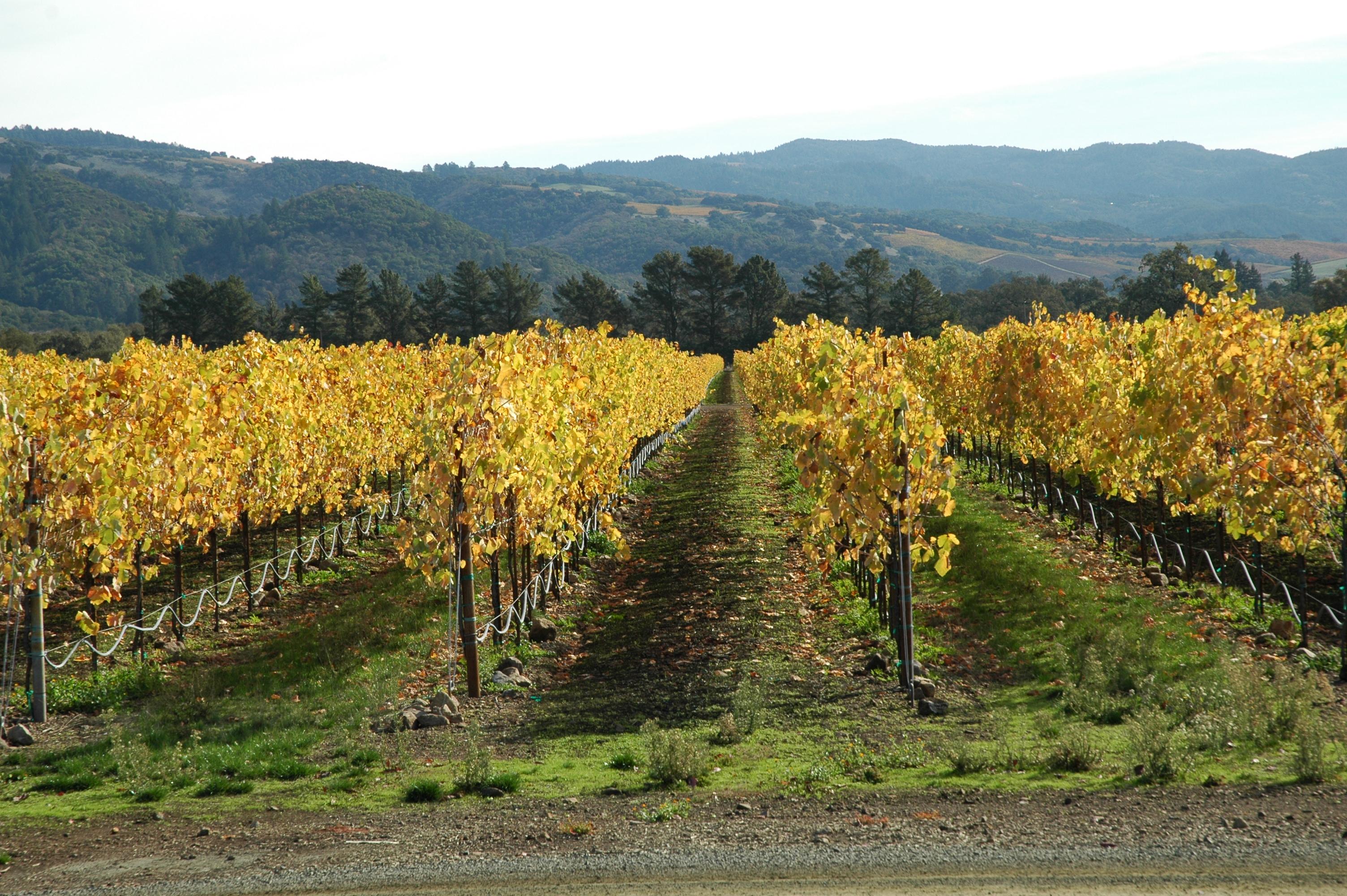 Vitis vinifera Sonoma County, California.jpg