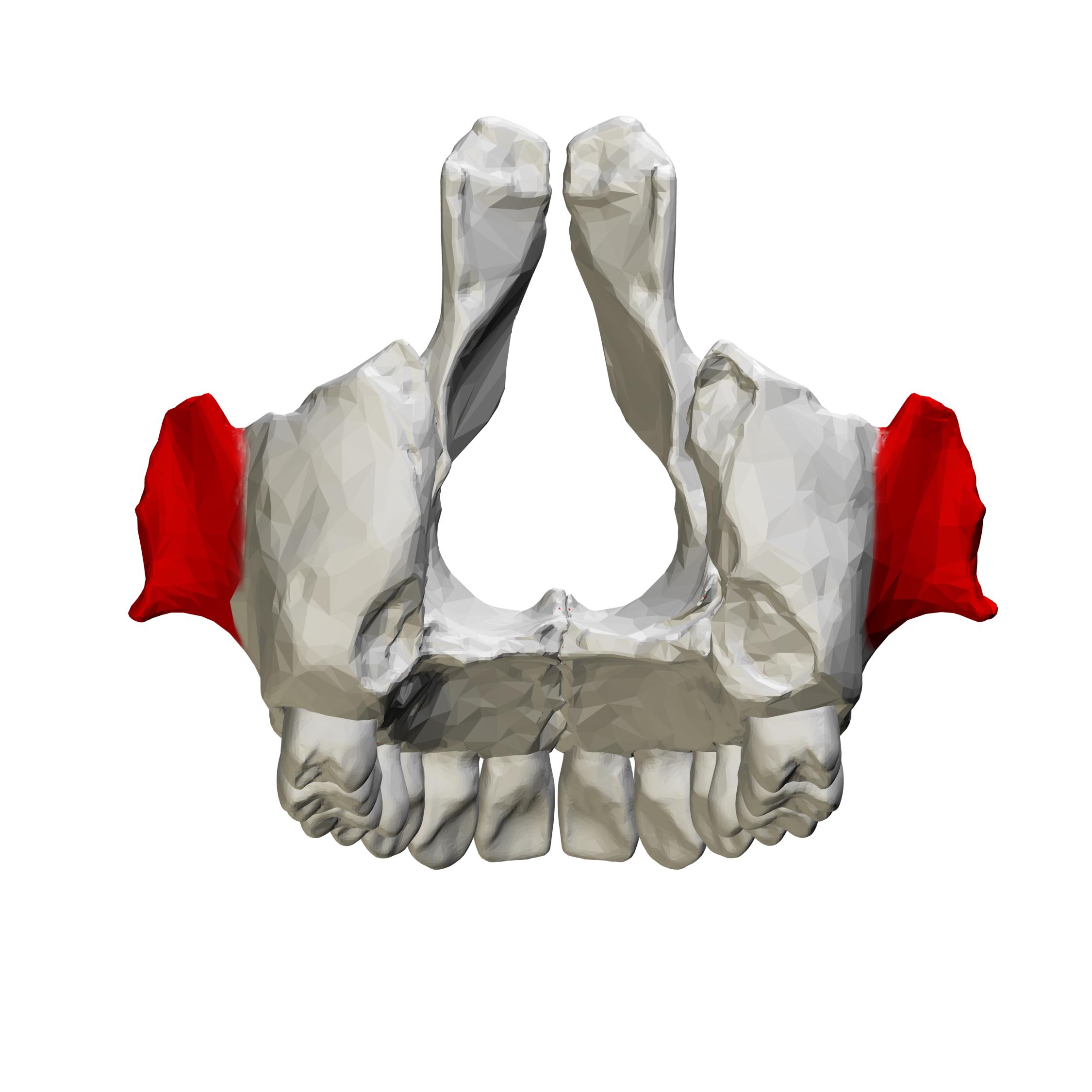 File:Zygomatic process of maxilla - close up - posterior ... Zygomatic Process Of Maxilla