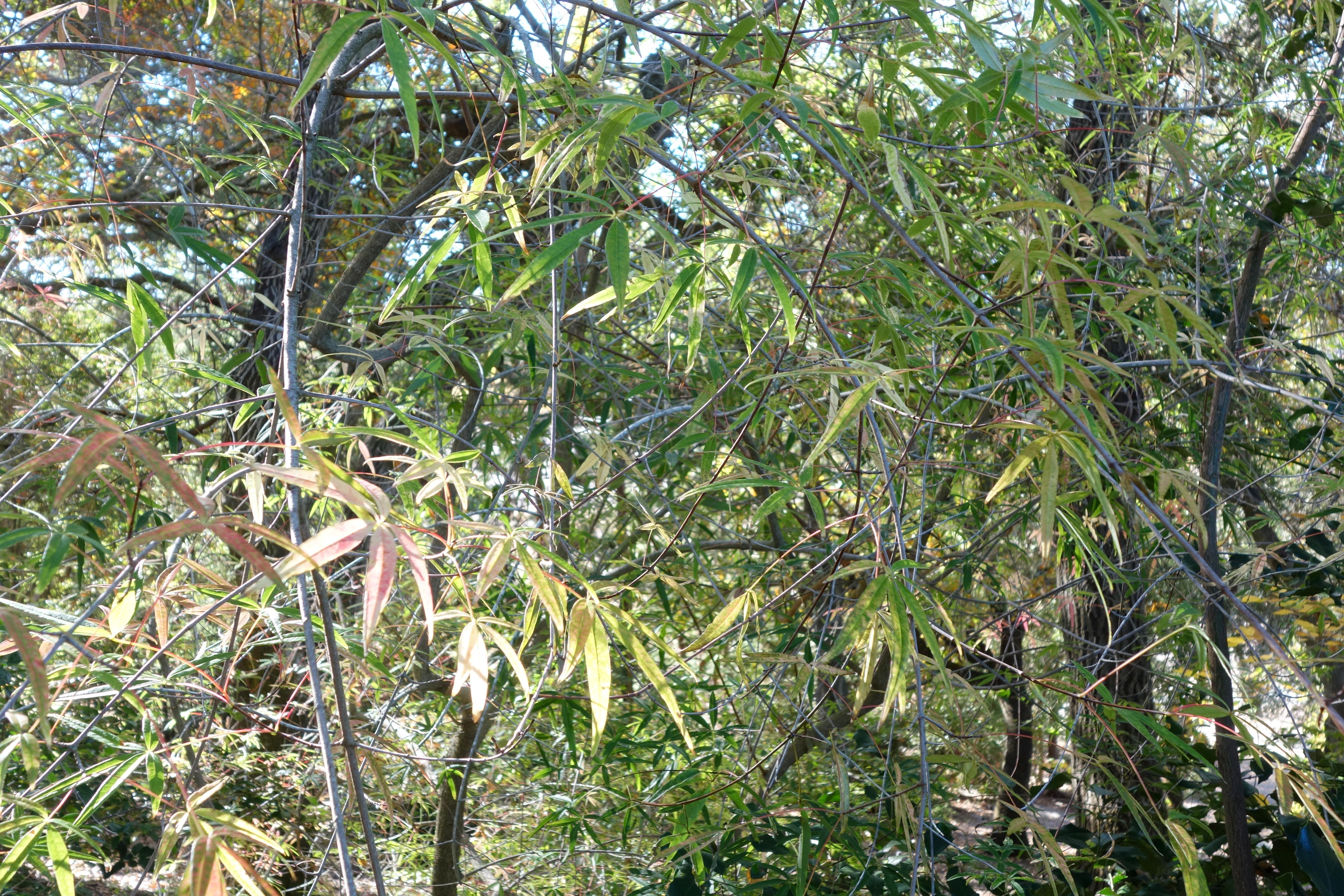 fileacer pentaphyllum quarryhill botanical garden dsc03220jpg - Quarryhill Botanical Garden