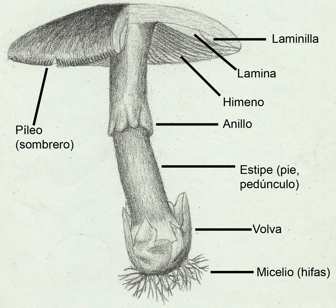 El hongo al papagayo que curar