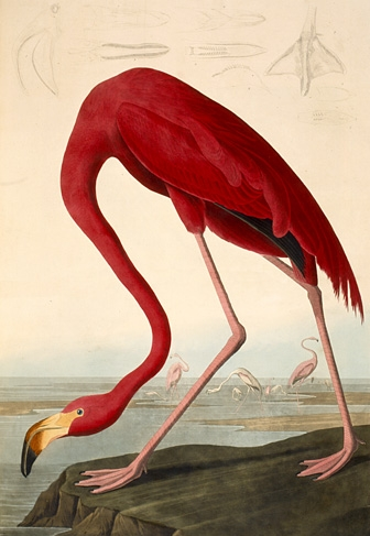American flamingo painting - photo#4