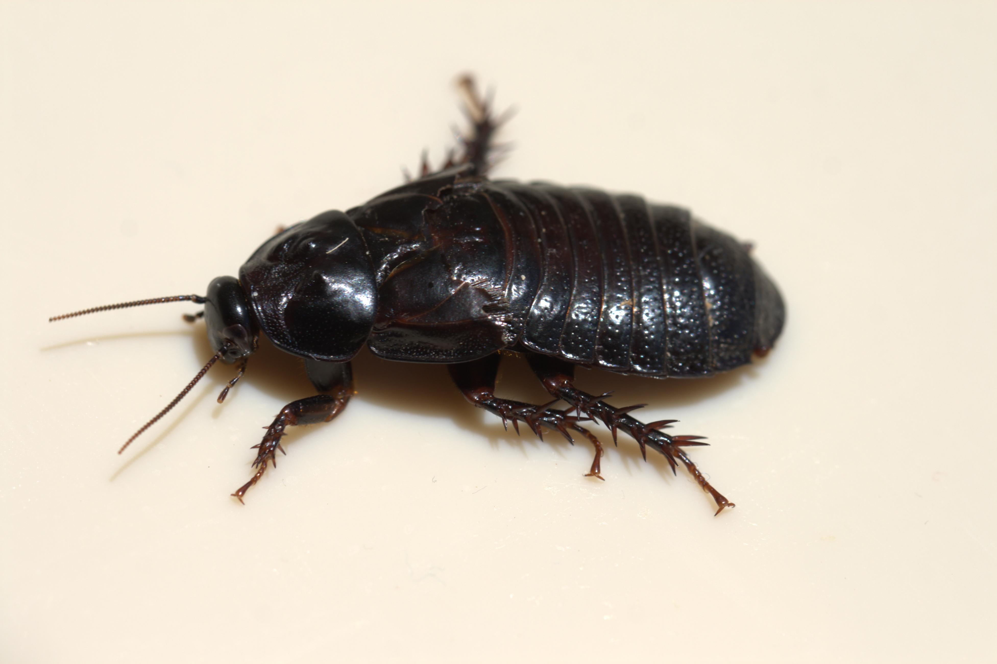 how to kill cockroaches australia