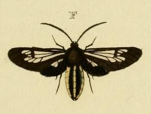 <i>Autochloris</i> genus of insects