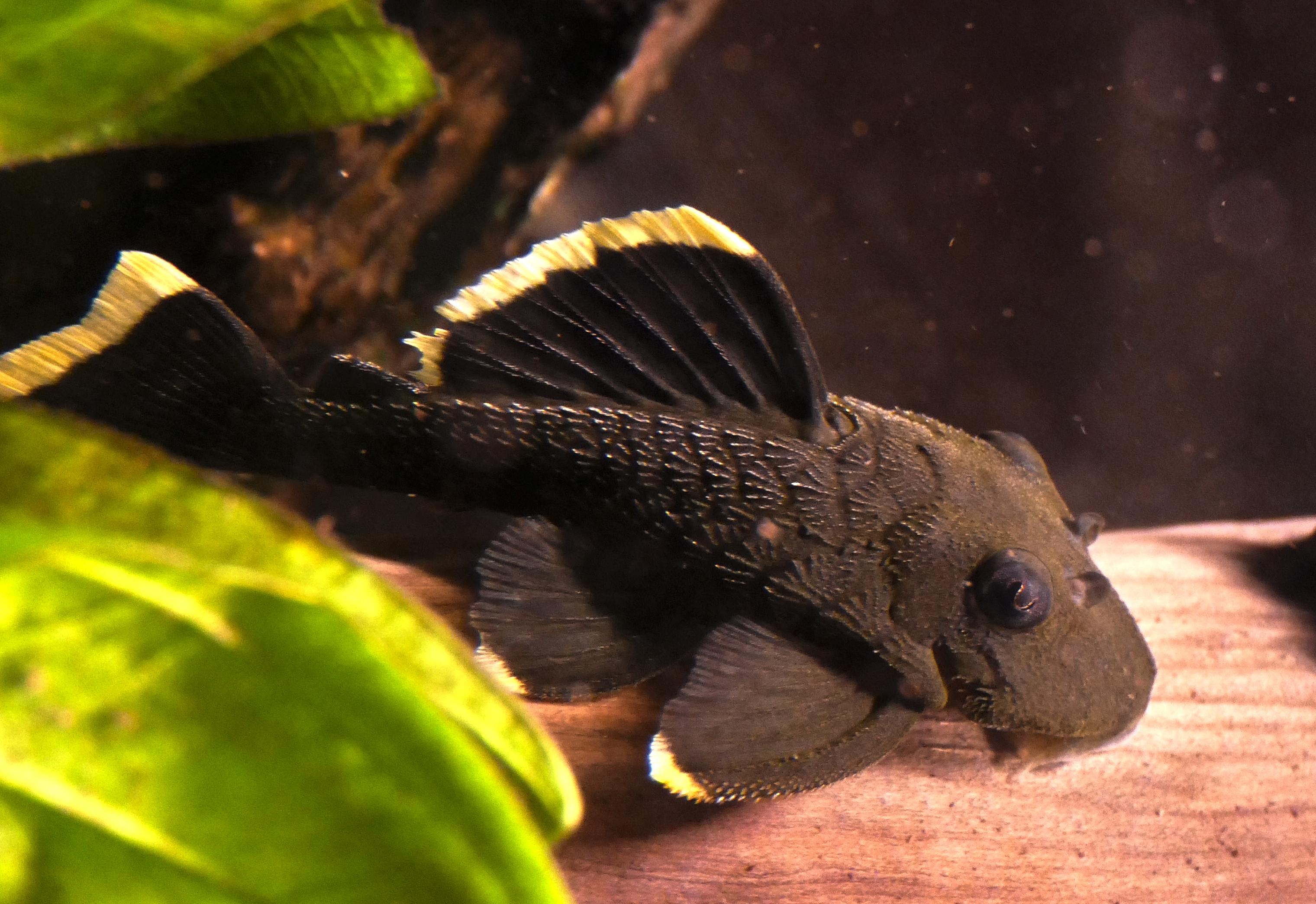 File:Baryancistrus chrysolomus L-047 (2).jpg - Wikimedia Commons