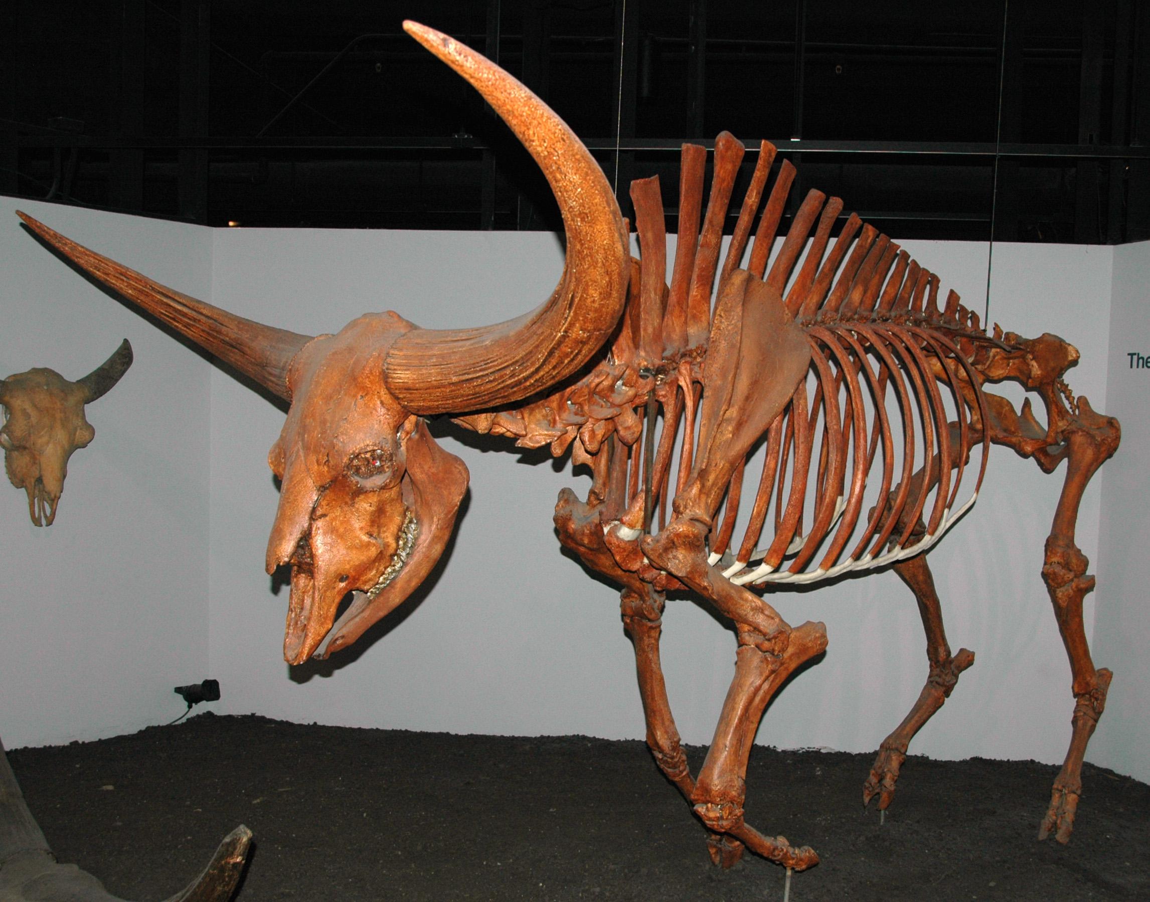 Bison Latifrons Wikipedia