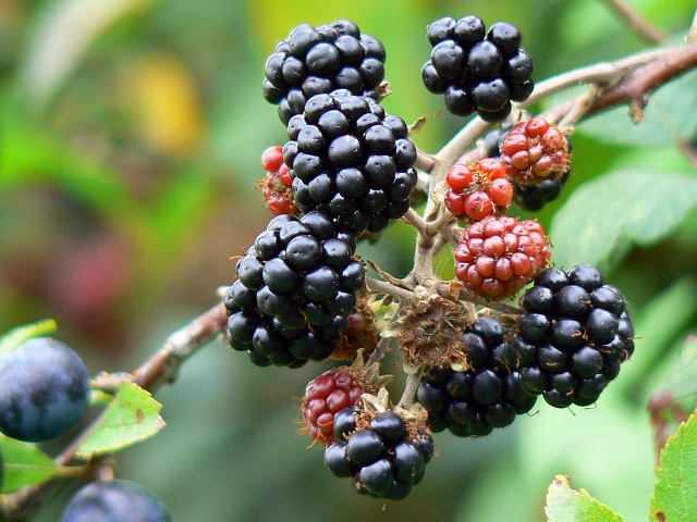 File:Blackberries, Swindon and Cricklade Railway - geograph.org.uk - 549615.jpg