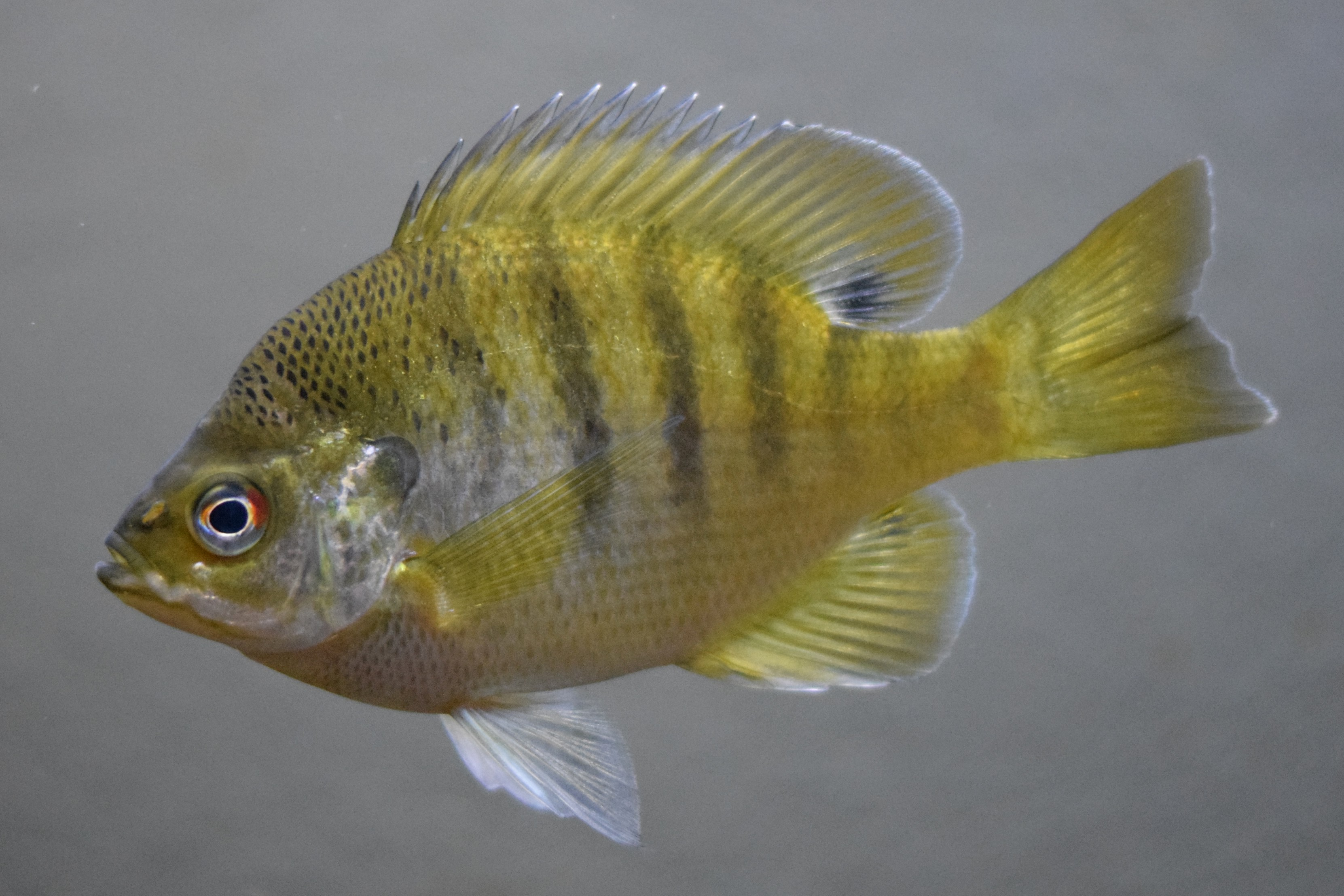 Bluegill - Wikipedia
