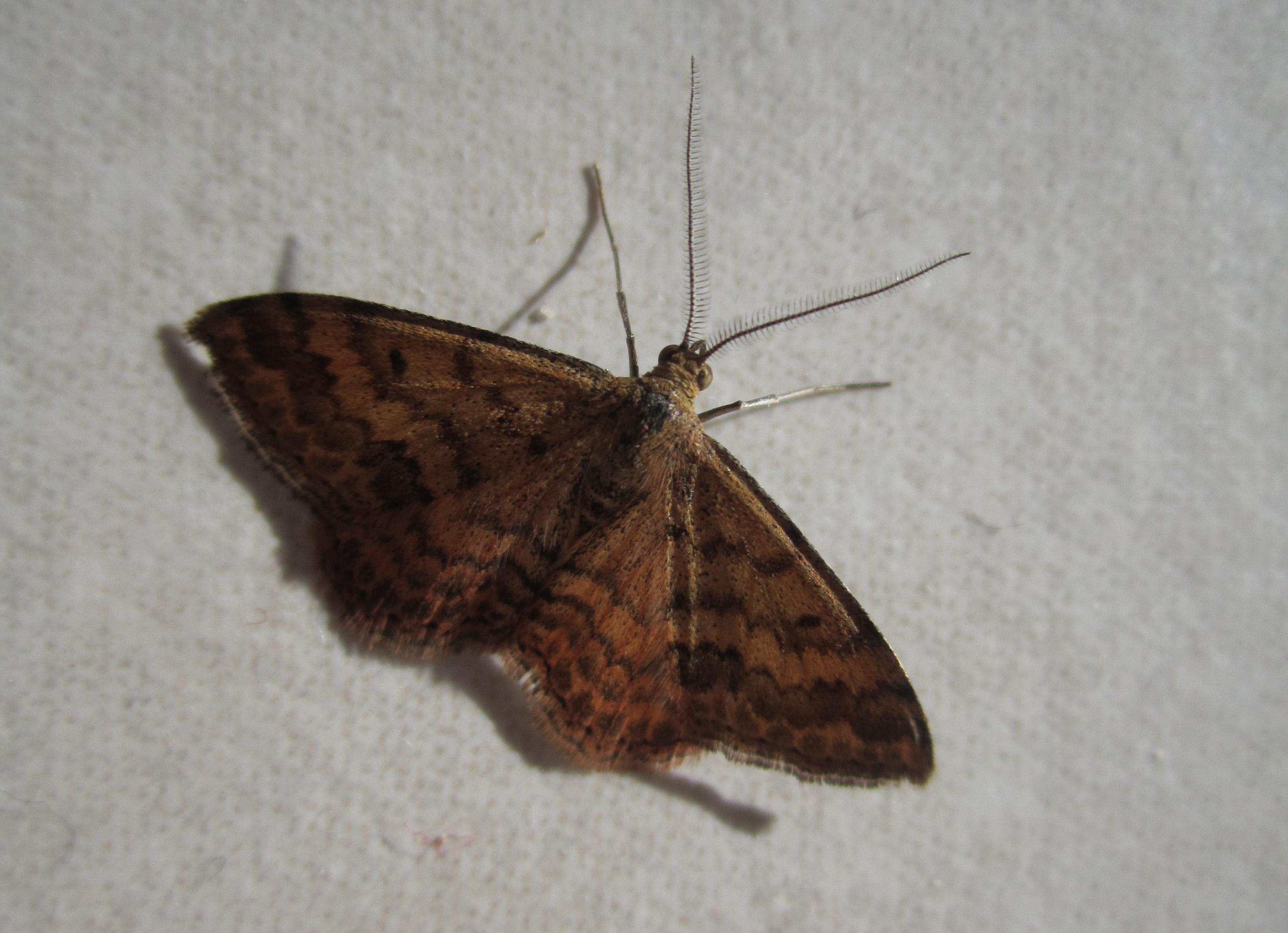 File:Brown-black butterfly jpg - Wikimedia Commons