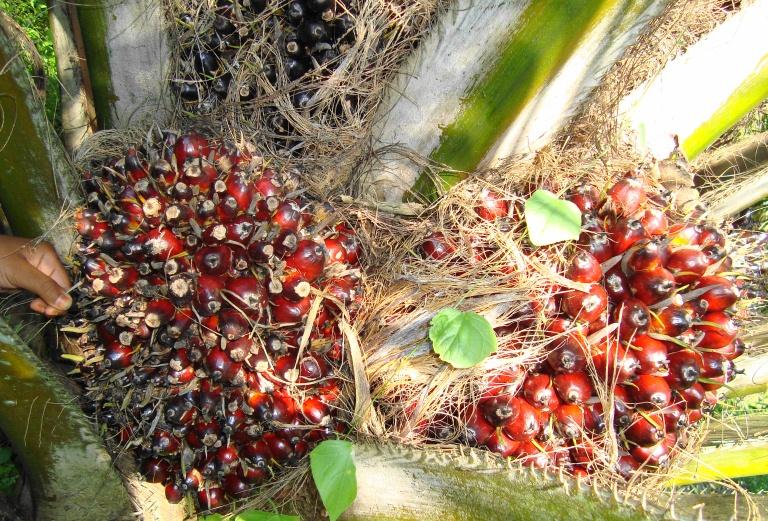 Buah kelapa sawit (46)