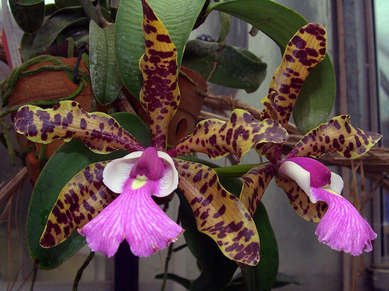 Cattleya aclandiae wikipedia for Orchidea cattleya