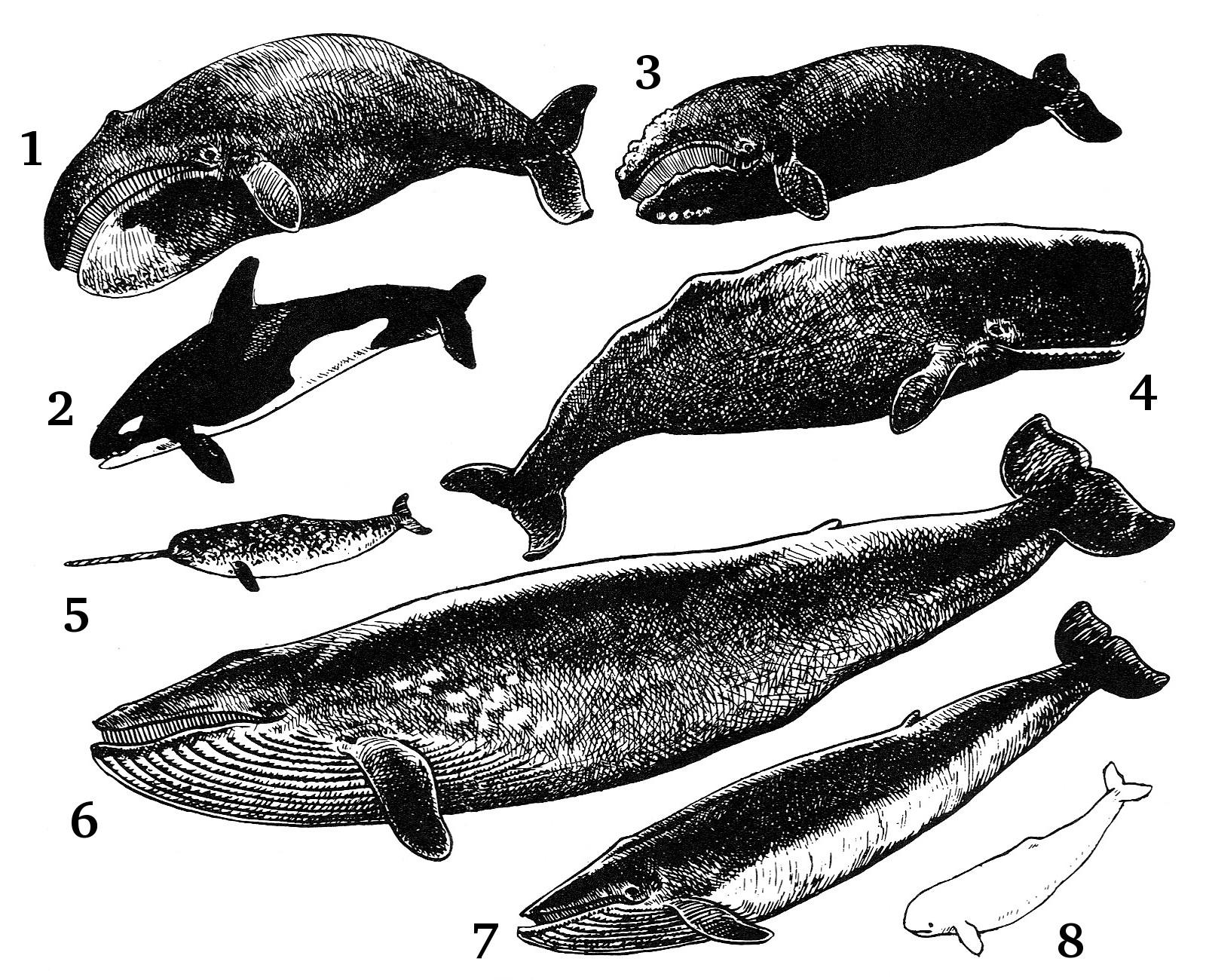 spermhval og blåhval